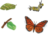SAFARI Ltd. Cykl rozwojowy – Motyl